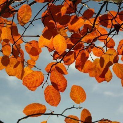 amelanchier-leaves-autumn-orange-red-blood-red