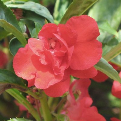 1186期鳳仙之花